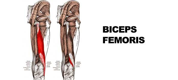 biceps femoris ...