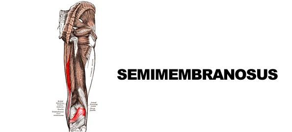 Semimembranosus