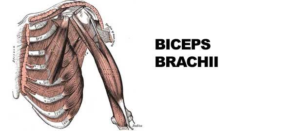 bicepsbrachii595x270