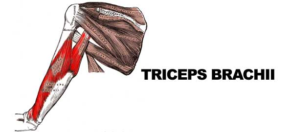 tricepsbrachii595x2701