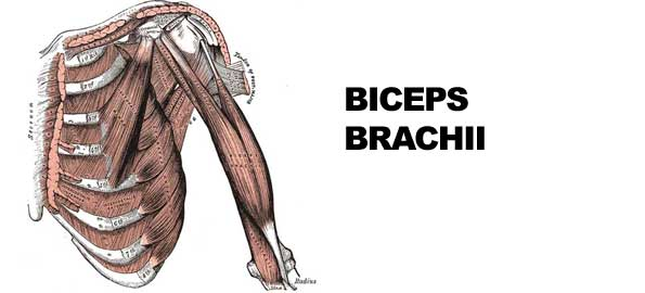 Biceps Brachii | exercisereports.com
